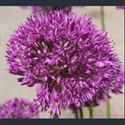 Picture for category Allium