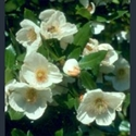 Picture for category Eucryphia
