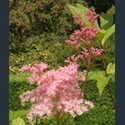 Picture for category Filipendula