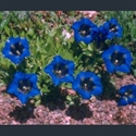 Picture for category Gentiana