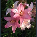 Picture for category Lilium