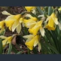 Picture for category Narcissus