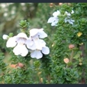 Picture for category Prostanthera
