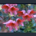Picture for category Rhododendron