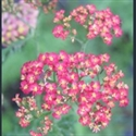 Picture for category Achillea