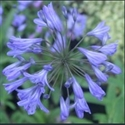 Picture for category Agapanthus