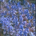Picture for category Ajuga