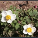 Picture for category Anemone - large varieties