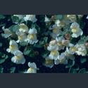 Picture for category Antirrhinum