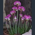 Picture for category Armeria