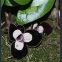 Picture for category Asarum