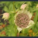 Picture for category Astrantia