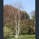 Picture for category Betula