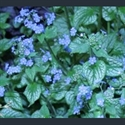 Picture for category Brunnera