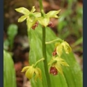 Picture for category Calanthe