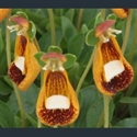 Picture for category Calceolaria