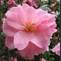 Picture for category Camellia