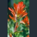 Picture for category Castilleja