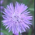 Picture for category Centaurea