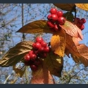 Picture for category Cotoneaster