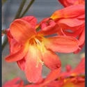 Picture for category Crocosmia