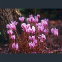 Picture for category Cyclamen