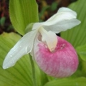 Picture for category Cypripedium