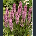 Picture for category Dactylorhiza