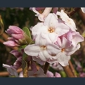 Picture for category Daphne - large varieties