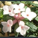 Picture for category Daphne - small varieties