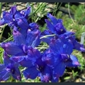 Picture for category Delphinium