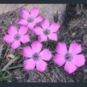 Picture for category Dianthus
