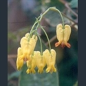 Picture for category Dicentra