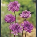 Picture for category Dichelostemma