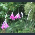 Picture for category Dierama