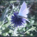 Picture for category Echinops