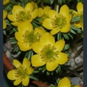 Picture for category Eranthis