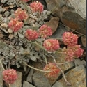 Picture for category Eriogonum