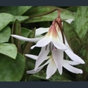 Picture for category Erythronium