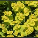 Picture for category Euphorbia