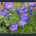 Picture for category Gentiana - autumn flowering