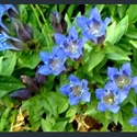 Picture for category Gentiana septemfida and relatives