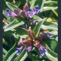 Picture for category Gentiana - tall varieties