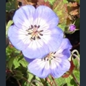 Picture for category Geranium