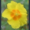 Picture for category Helianthemum