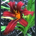 Picture for category Hemerocallis