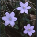 Picture for category Hepatica
