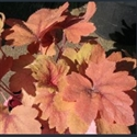 Picture for category Heucherella