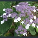 Picture for category Hydrangea