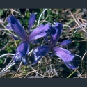 Picture for category Iris Ruthenicae series